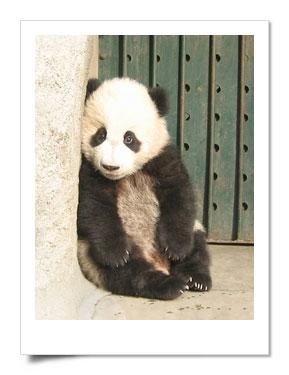 大熊猫文字图片视频资料